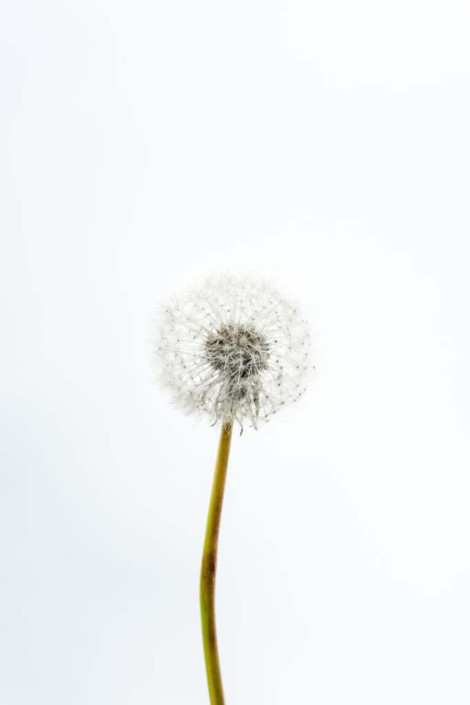A dandelion flower that's gone to seed
