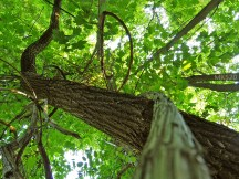 schlängeln sich um die Bäume
