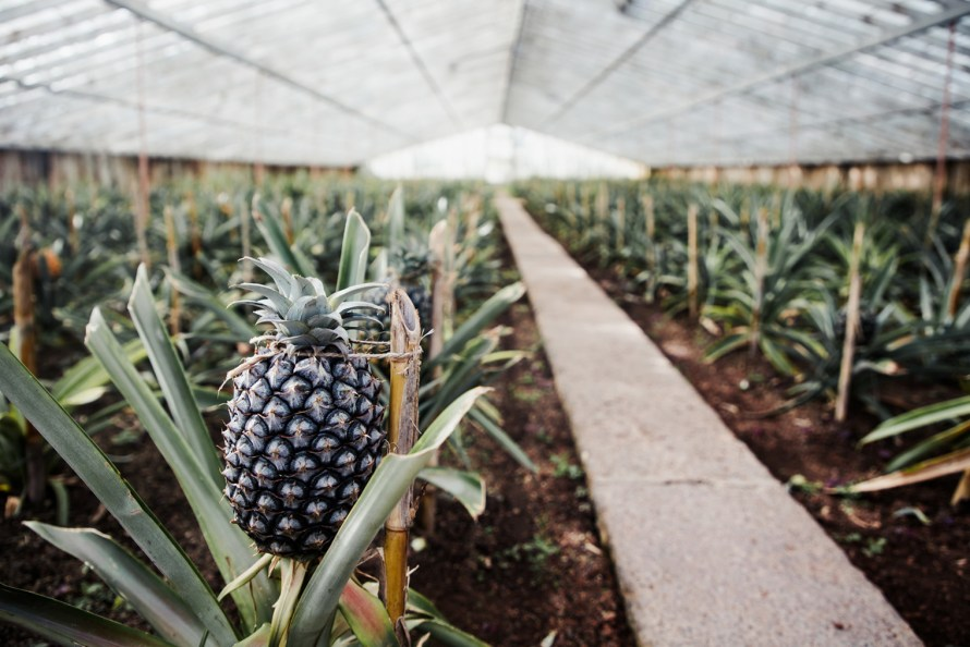 Pineapple inside a greenhouse