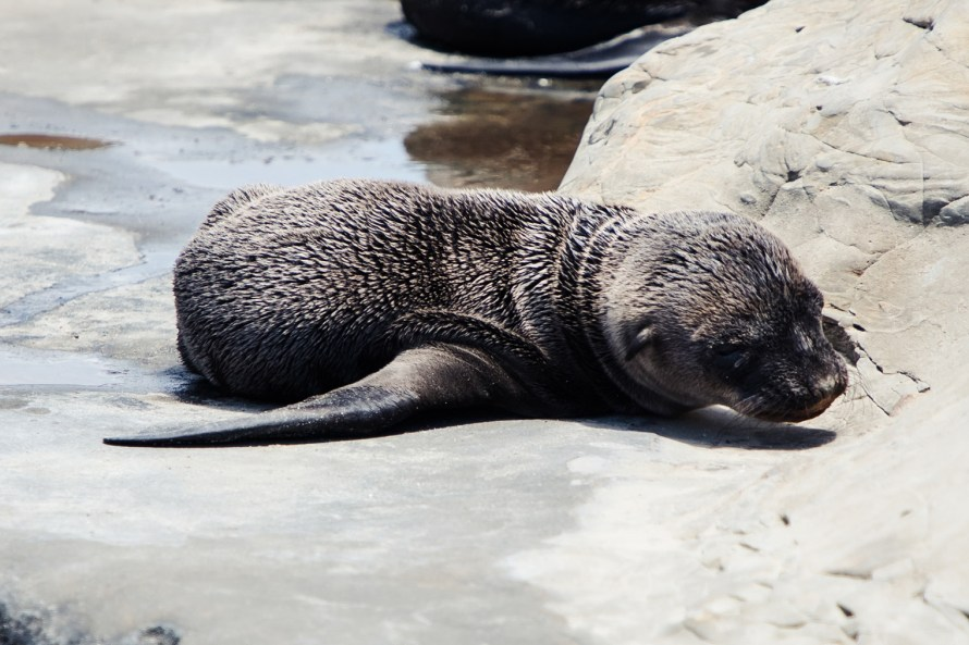 Baby sea lion on a rock