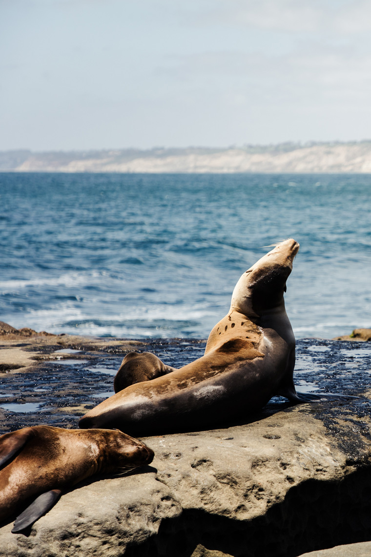 Sea lions by the ocean