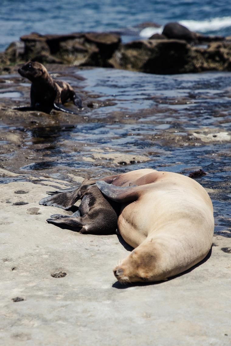 Big sea lion spooning baby sea lion