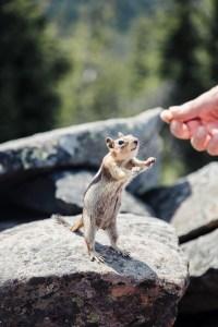 Chipmunk reaching for nut