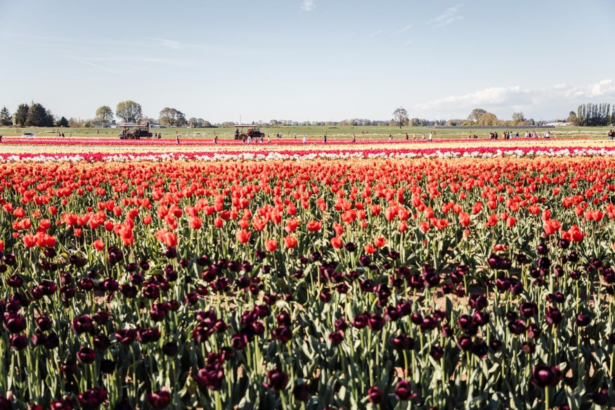 best day trips from Portland - Wooden Shoe Tulip Farm