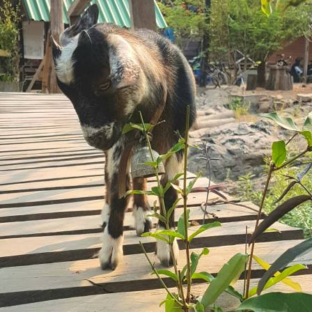 This goat wanted to cross the bridge with me, going to a waterfall