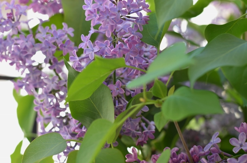 Premiers lilas