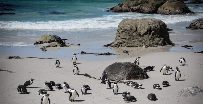 The Africa penguin colony at boulders beach