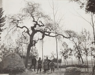 Ulmus_pumila_'Pendula',_1908