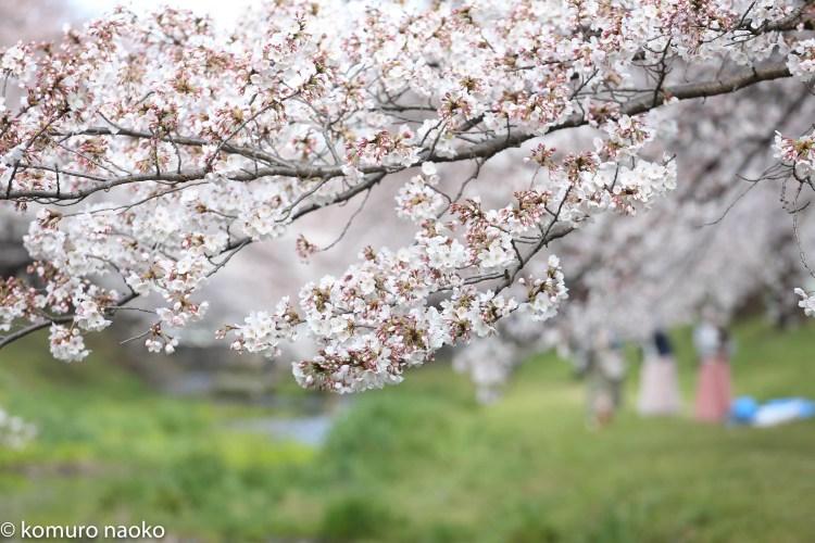 根川緑道桜