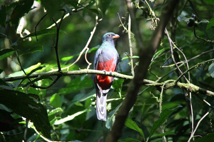 Typisch Costa Rica - überall sitzen schöne, bunter Vögel in den Bäumen.