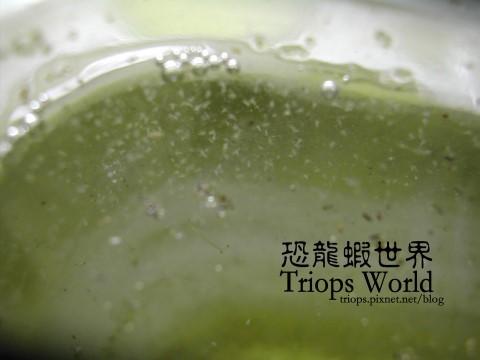 恐龍蝦培養組(三款)   賽先生科學工廠