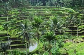 Bali Rice 2
