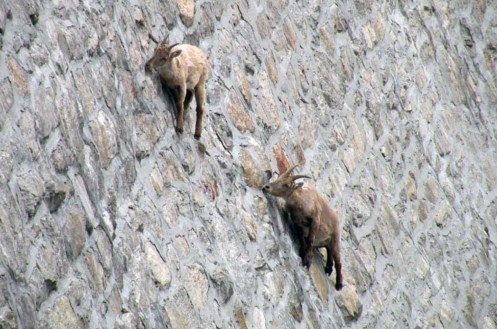 goats-on-a-cliff