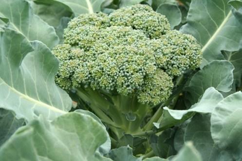 broccoli-head-lo