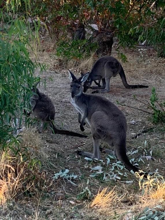 Wild Kangaroos in the bush