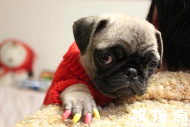 狗狗指甲套好嗎?給狗狗帶指甲套是否健康?
