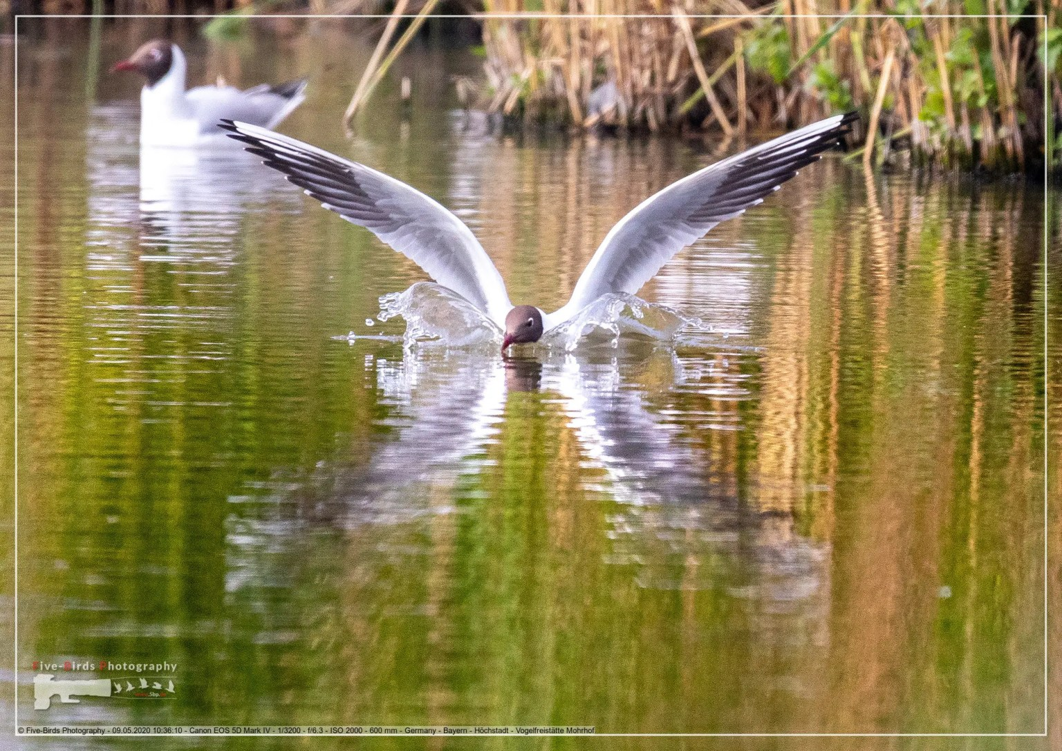 Black-headed gull in a bird sanctuary in southern Germany