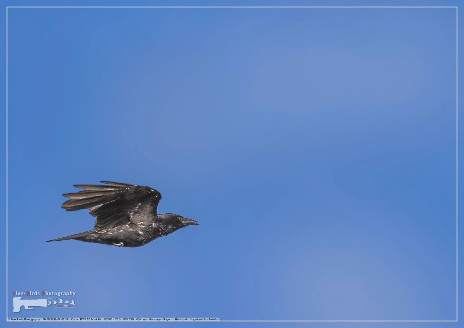Carrion crow in a bird sanctuary in southern Germany
