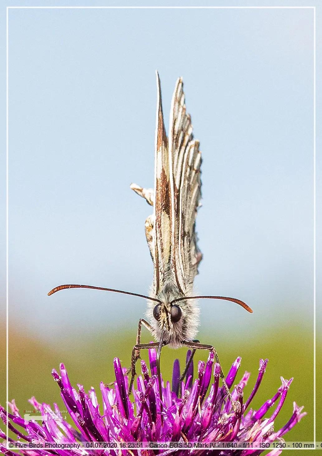 Macro shot of a Melanargia galathea butterfly on a Centaurea scabiosa flower in a wildflower meadow