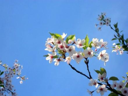 Hoa anh đào trắng nở rực rỡ, nổi bật trên nền trời xanh ngắt