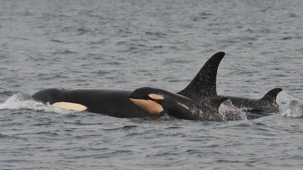Nacimientos de orcas en Canadá dan esperanza a la especie