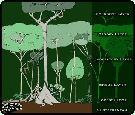 rainforest structure diagram holden vz sv6 wiring adaptations of tropical | 5n1geographers