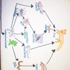 Arctic Fox Food Chain Diagram Muscle Anterior Hand 5thgradebiomes Deciduous Forests Group 1