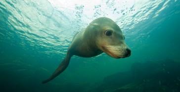 Lion de mer dans l'eau