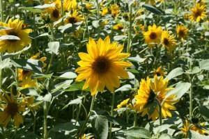 Lass Blumen sprechen - Im Feld - 5VIER
