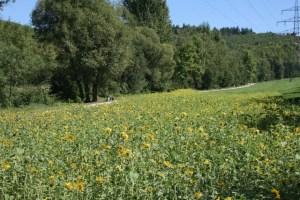 Das Sonnenblumenfeld im Avelertal