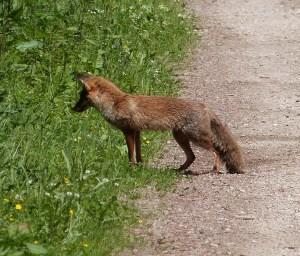 Fuchs-lauernd