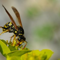 Mittel gegen Wespen