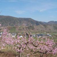 Die Blüte des Weinbergpfirsich an der Mosel. Bildquelle: C. Heinen