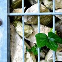 Das Foto zeigt einen Detailausschnitt einer Gabione mit Efeu. Foto: PIRO4D auf Pixabay