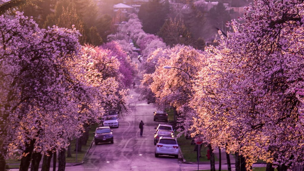 Where To Find Cherry Blossoms In Metro Vancouver By City  604 Now