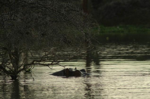 hippo-lake-naivasha-kenya-3323