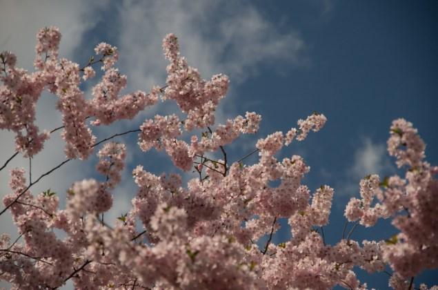 berlin-kirschblueten-sakura-mauerweg-6663