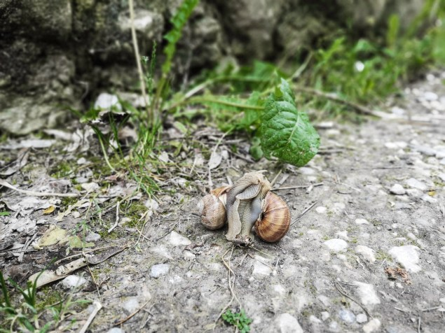 Copulating snails