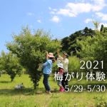 梅がり2021