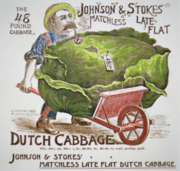 Dutch cabbage for sale