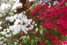 Spring is here - azaleas in full bloom in the back yard