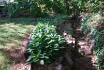 Transplanted Hosta back in leaf
