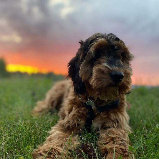 Polly i solnedgang #cockapoo