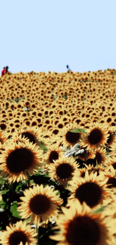 Sunflower Tumblr Background : sunflower, tumblr, background, Sunflowers, Wallpapers, Tumblr