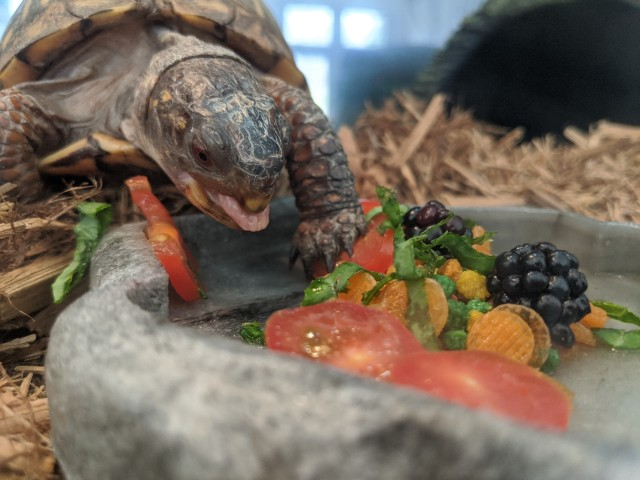 the turtle with her tongue sticking out