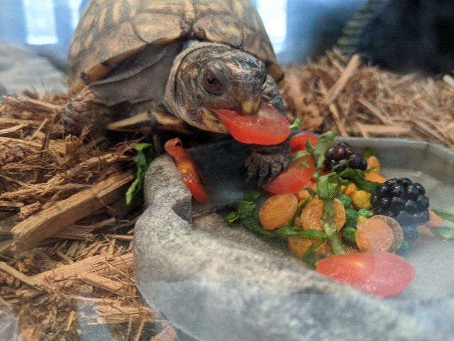 the turtle chomping a slice of cherry tomato