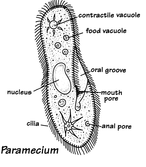 small resolution of paramecium cell diagram