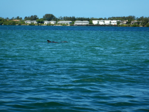 "Another sighting of ""Flip,"" the first dolphin identified by the Dolphin Discoveries project!"
