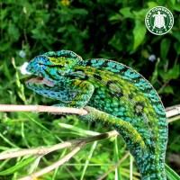 Carpet Chameleon - Carpet Vidalondon