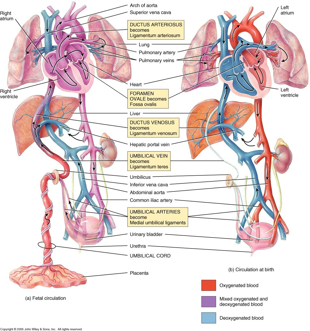 hight resolution of  obligatory anatomy diagram of the day fetal and post natal adult